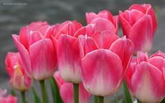 Tulips in Heukelum, the Netherlands (Ineke Klaassen) Tags: tulips flowers flora bloemen tulpen tulp rose sony sonyimages sonya6000 sonyalpha sonyalpha6000 sonyilce6000 ilce bunch heukelum gelderland geldersestreken floral fleurs fleur flower pink nature natuur photography roze tulipe tulipes tulipanes tulipas flores цветочный 35fav 35faves 500views