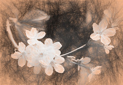 Pear Blossom (judy dean) Tags: garden judydean flowers spring 2018 pearblossom topaz