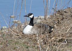 Where are her goslings? (ctberney) Tags: canadagoose brantacanadensis nesting defendingthenest birds water pond nature