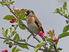 Goldfinch.....Attenborough Nature Reserve (Scuba`Steve`) Tags: