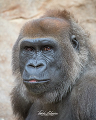 Kokamo (ToddLahman) Tags: kokamo westernlowlandgorilla gorilla mammal female portrait outdoors beautiful sandiegozoosafaripark safaripark escondido eyelock canon7dmkii canon canon100400 closeup