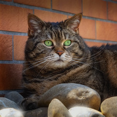 Cleo on the rocks (FocusPocus Photography) Tags: cleo katze cat chat gato tabby tier animal haustier pet steine rocks