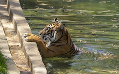 National Zoo 3 May 2018  (621) Tiger (smata2) Tags: tiger tigre flickrbigcats bigcats smithsoniannationalzoo zoo zoosofnorthamerica itsazoooutthere animals zoocritters
