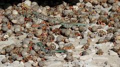 KLEIN CURACAO (pwitterholt) Tags: kleincuracao curacao caribischezee beach strand zandstrand zand sandbeach sand house crab krabben hagedis lizard heremietkreeften hermitcrab canon canonsx40 canonpowershotsx40hs canonpowershot home sales busy schelp shell