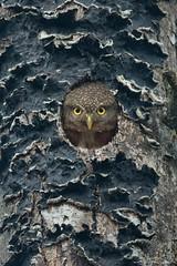 Central American Pygmy-Owl (www.jessfindlay.com) Tags: glaucidiumgriseiceps centralamericanpygmyowl costarica owl jessfindlay jessfindlayphotography wwwjessfindlaycom