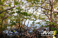 Mangrove-Brush (Jawor Photography) Tags: everglades floridaeverglades swamp marsh nationalpark evergladesnationalpark trail cypress cypressforest trees naturephotography nature landscape landscapephotography naturehike outdoors outside florida summer travel travelphotography vacation mangrove mangrovetree brush