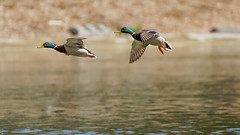 BiF of the day (3/3) : mallards (Franck Zumella) Tags: duck canard color couleur green blue red yellow vert jaune bleu rouge colorful coloré fast rapide flight fly flying vol voler volant oiseau bird nature animal