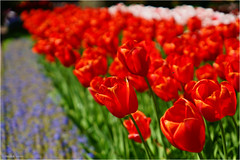 In Focus (Hindrik S) Tags: tulp tulip tulipa bulb keukenhof flower blom blume fleur bloem plant read red rot rood rouge netherlands nature natuur natuer creation skepping schöpfung schepping sonyphotographing sony sonyalpha a57 α57 slta57 sony1650mmf28dtssm 2018