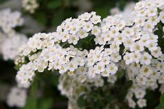 Bridal Veil Spirea (Cheryl3001) Tags: bridal veil spirea flower bush plant spring white yellow 85mm 18 nikcollection
