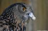 Eurasian Eagle Owl - Zoo Amneville (Mandenno photography) Tags: animal zoo zooamneville amneville france frankrijk bird birds eurasian european eagle owl owls ngc nature
