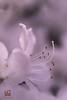 DELICATEZZA (Lace1952) Tags: primavera fiore azalea azaleabianca pistilli profilo delicatezza sfocato bokeh fuorifuoco