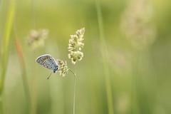 dovrei dire qualcosa tipo: maggio! (@5imonapol) Tags: butterfly bug light sun sunset bokeh life wild animal may spring cassaga flower gold green grass