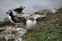 Bringing home the dinner (crafty1tutu (Ann)) Tags: travel holiday 2017 unitedkingdom uk england farneislands northumberland animal bird puffin sandeels dinner rocks birds crafty1tutu canon5dmkiii ef100400mmf4556lisiiusm anncameron water rock grass sea naturethroughthelens naturescarousel coth coth5