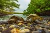 turtle2Mar31-18 (divindk) Tags: cheloniamydas hawaii hawaiianislands makenabeach makenalanding maui beach diverdoug endangeredspecies greenseaturtle marine ocean sea seaturtle turtle