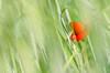 Red spot (ciccioetneo) Tags: poppy redspot pesaro grano frumento wheat wheatfield sfocato bokeh ciccioetneo marche gradara nikond7000 sigma70200mmf28