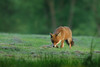 Red fox in the evening (Susanne Leyh) Tags: redfox fox fuchs rotfuchs mammal animal tier nature natur wildlife britishwildlife nikon dusk evening