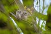 La paire (jlf_photo) Tags: eastern screech owl hibou petitduc maculé chouette wildlife wild faune sauvage oiseau animal animaux animals oiseaux
