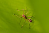 Ant mimicking bug nymph (AglaiaBouma) Tags: heteroptera nymph bug wants borneo ant antmimic mimicry insects bugs entomology nature wildlife outdoors biodiversity animals macro macrophotography closeup wildlifephotography