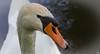Schwan (roland_lehnhardt) Tags: canon eos60d ef100mmf28 tiere schwan cygnus gänse entenvögel anatidae