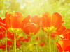 Happiness is... (mintukka) Tags: tulips spring flowers light garden redtulips red texture nature springflowers tulip soft flower