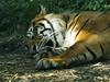 Akron Zoo 06-06-2014 - Sumatran Tiger 1 (David441491) Tags: sumatrantiger tiger feline bigcat akronzoo