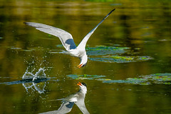 Common tern fishing (Paul wrights reserved) Tags: commontern tern terns water lake fishing reflection reflections wings beak splash splashing