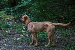 Bibi0516-2025 (adam.leaf) Tags: canon 6d 24105l leafling forest dog