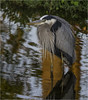 Great Blue Heron ( Chillin' ) (billkominsky ) Tags: naturethroughthelens