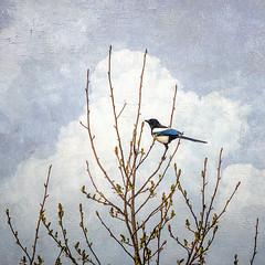 Doña Urraca (acativa) Tags: urraca pega aves ventana árboles cielo nubes invierno roble carballo galicia rural campo aldea pueblo acativa texture textured cotobad cotobade cerdedocotobad
