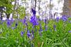 Bluebells (eric robb niven) Tags: ericrobbniven scotland bluebells wildflower nature kinclaven ballathie perthshire springwatch