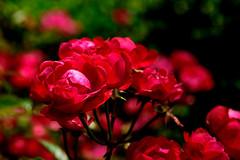 Red Rose in Minato-no-Mieru-Oka Park, Yokohama : 赤い薔薇 (Dakiny) Tags: 2018 spring may japan kanagawa yokohama nakaward yamate park minatonomieruokapark rosegarden city street plant tree flower rose macro bokeh nikon d750 nikonafsmicronikkor60mmf28ged afsed club it