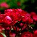 Red Rose in Minato-no-Mieru-Oka Park, Yokohama : 赤い薔薇