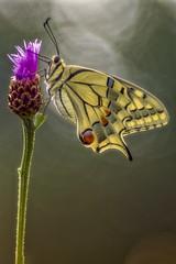 _5192564_Schwalbenschwanz Trioplan 2.8 100mm (HelmiGloor) Tags: meyergörlitz28100mmtrioplan trioplan papiliomachaon ritterfalter tagfalter butterfly schmetterling insekten insecta wildlife kantonaargau möhlin switzerland