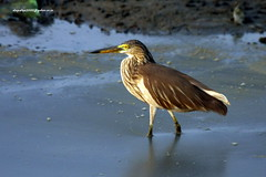 IMG_4396 Indian Pond Heron (Ardeola grayii) (vlupadya) Tags: greatnature animal aves fauna indianbirds pond heron ardeola kundapura karnataka