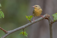 Worm-eater Strikes a Pose (PhillymanPete) Tags: songbird helmitherosvermivorum wildlife forest bird wormeatingwarbler migration warbler perch nature clayton newjersey unitedstates us