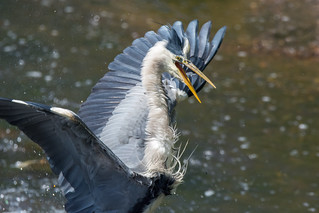 Grey heron (series of 4)