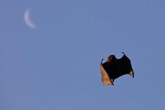 Moon fox (GTV6FLETCH) Tags: pteropus poliocephalusgrey headed flying foxfruit batflying foxcanoncanon 5dsrcanon eos 5dsr5dsr5dsr 5dsr canon150600mm f563 dg os hsm | csigma 150600mm c sigma