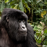 Gorilla portrait thumbnail