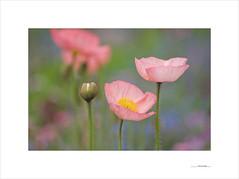 Flores de papel (E. Pardo) Tags: flores flowers blumen amapolas poppys mohnblumen colores colors farben belleza beauty schönheit primavera spring frühling admont steiermark austria