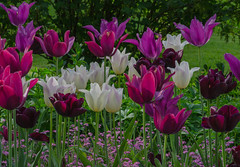 Tulips in the Sofiero palace garden (frankmh) Tags: plant flower tulip sofiero helsingborg skåne sweden