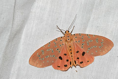 Argina argus - Khun Klang Acc._20180208_2021_DSC_8836_DxO (Jan F. Rasmussen - love comments but delete awards) Tags: khunklang doiinthanon chiangmai chiangmaiprovince arctiinae insecta lepidoptera erebidae tigermoths bjørnespindere wollybears arctiidae nikon nikkor 105mm f28g vr micro micronikkor d800 janfischerrasmussen janfrasmussen 2018