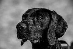 DSCF8891-2018.jpg (www.altglas-container.de) Tags: dog portrait porträt pet ole roxsenspeedbooster animal