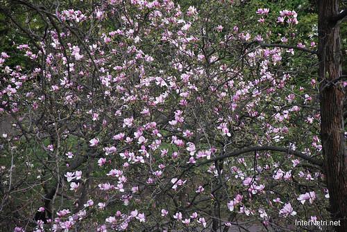 Ботанічний сад імені Гришка Цвітуть магнолії InterNetri  Ukraine 195