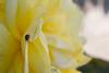 IMG_2974 (Crazy Vii) Tags: macro fleurs rose nature coccinelle plouescat jardin