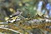 DSC_4872B (The Real Maverick) Tags: highpark torontoparks toronto ontario canada spring outdoors wildlife nikon easternwoodpewee