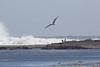 IMG_8904 (armadil) Tags: mavericks beach beaches californiabeaches bird birds gull gulls
