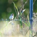 Savannah Sparrow thumbnail