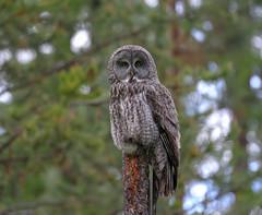 Great Gray Owl (Khanh B. Tran) Tags:
