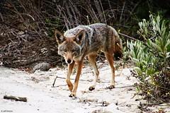 Stare (Wildlife_Biologist) Tags: coyote canislatrans wild mammal canid nature wildlifebiologist jeffahrens wildlife animal stare southerncalifornia