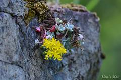 DSC_3673 (FNshutter) Tags: nikond610 d610 nikkor200500mmf56 200500mmf56 rock flower moss